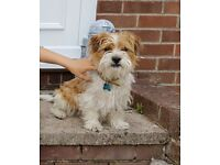Jack russell/shih tzu for rehoming