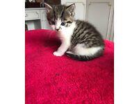 Beautiful tabby kitten!