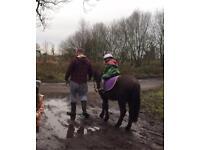 12hh roan Dartmoor pony