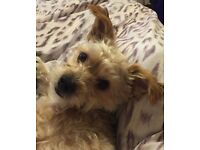Rehoming dog, crossed between Yorkshire terrier and a bichon frise