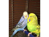 Two pretty budgies for Sale