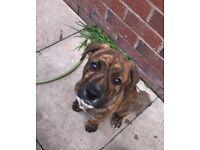 Staffy x Rottweiler 12 weeks old puppy