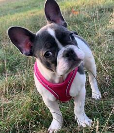 Blue Pied Female French Bulldog