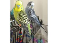 2 male budgies with cage.