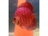Discus Lightning Blue Tigers 2 inch &10 three inch £18