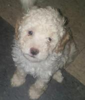 Only 1 miniature poodle puppy left