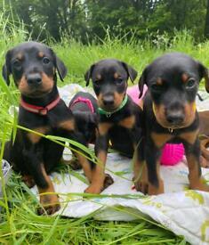 Top dobermann Puppies KC.reg Health tested
