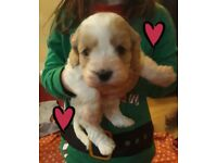 **STUNNING COCKAPOO PUPPIES FOR SALE **