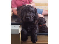 Not Labradoodle, not Poodle - beautiful Healthy Irish Water Spaniel puppies