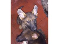 German Shepherd puppies - KC registered Czech line