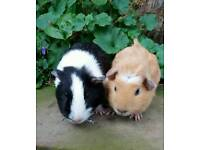 Pair of male guinea pigs