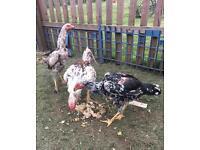 Asil aseel chicken shamo
