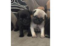 Gorgeous KC PUG Puppies