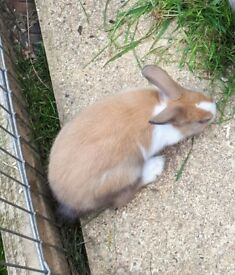 5 month old female rabbit
