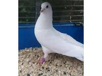 White Garden Doves