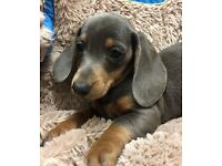 Dachshund puppies Blue and tan