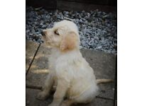 F1 Labradoodle Puppies. Registered parents, hip scored mum. Ready Now!