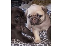 lovely pug puppies looking for new home