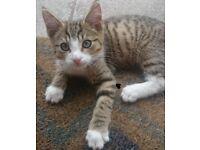 Missing kitten - beloved family pet!