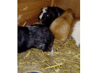 Guinea pigs living together males for sale