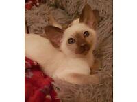 Adorable Siamese Kittens