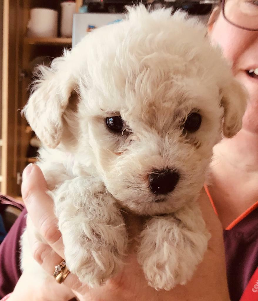 Bichon frise puppies for sale | in Kitts Green, West Midlands | Gumtree