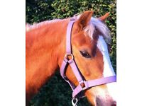 12hh welsh mountain pony gelding