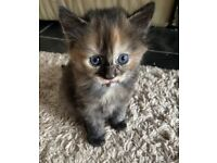 Three beautiful girl kittens for sale to loving homes