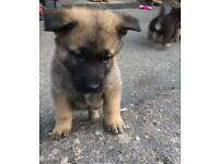 German Shepherd x puppies