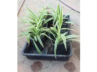 Spider plant in pot £1.50 each