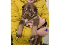 Husky x lab puppies