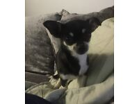 Chihuahua girl for sale