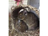 2 friendly degus to be rehomed separately / together with experienced person