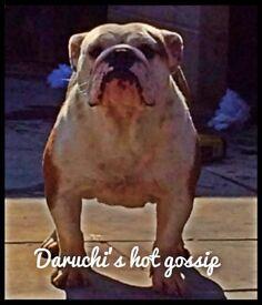 Bulldog bitch