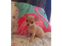 Lilac boy pedigree chihuahua