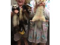 1 female, 1 male ferrets