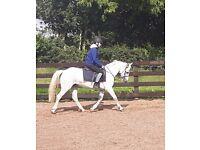 13.2 stunning pony