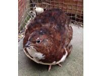 Tuxedo quail