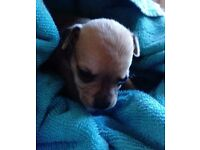 For sale chihuahua x pug puppy