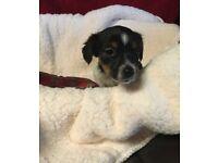 Beautiful Male Jack Russell Puppy 🐶
