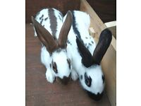Baby Butterfly English Rabbits