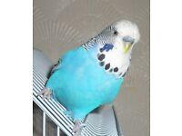 Blue Budgie, L