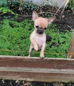 Kc Reg chihuahua puppies