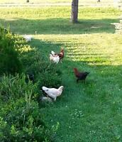 chickens, meat or eggs