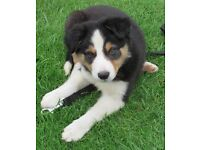 Pedigree Border Collies For Sale