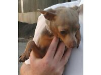 Russian toy terrier female