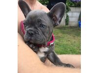 Solid blue, blue eyed pick of litter French bulldog girl