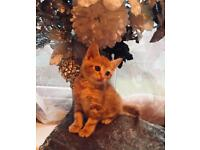 Stunning Ginger Male Kittens