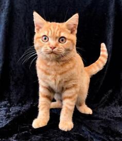 British shorthair kitten ready now