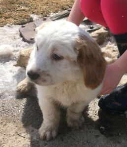 Male puppy for sale